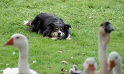 The Border Collie doing what it does best -- herding some animals.