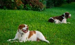 Brittany dogs do better with lots of space to roam around.