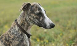 Unlike many other athletic breeds, the whippet does well in an apartment, as long it gets a long walk.