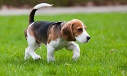 Beagles get along well with kids and other pets but they do love to stop and sniff.