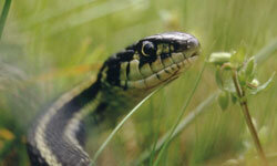 By studying a reference book, you'll be able to identify the common garter snake as harmless.