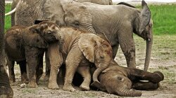 Some Wild Elephants Need Only Two Hours of Sleep