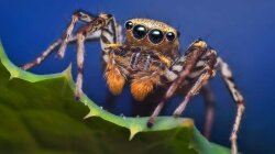 Sometimes Spiders Go Vegetarian, Scientists Find