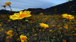 Southern California Desert Showered With Best Super Bloom in 20 Years