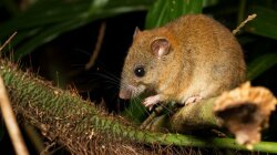 Goodbye, Melomys: Climate Change Claims Its First Mammal Species