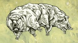 Tardigrade Mating Finally Caught on Camera, Is Suitably Weird
