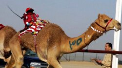 There's One Terrific Reason to Race Camels Using Robot Jockeys