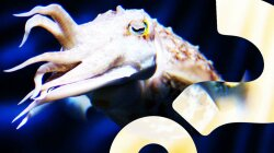 Cuttlefish Can Count to Five, New Study Shows