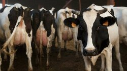 Cows Need Not Apply: Synthetic Vegan Lab Milk on the Horizon