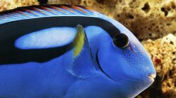 Could the Popularity of 'Finding Dory' Hurt the Blue Tang Fish?