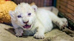 Three Rare White Lion Cubs Born in Georgian Zoo