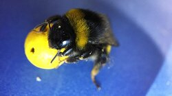 Teaching Bees to Play Ball Reveals Complex Learning Abilities