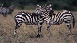 Well, Yeah. Zebra Stripes Aren't for Hiding.