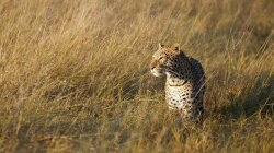 Leopards Have Lost 75 Percent of Historic Range, New Study Finds