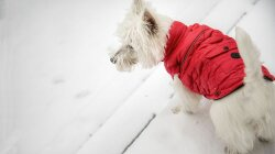 Spicy Vest Full of Chili Powder Protects Dogs From Wolf Attacks