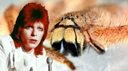 The Spider Named After David Bowie (And It's From Malaysia, Not Mars)