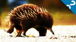 Adorable Echidnas Keep Australia's Soil Healthy