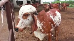 Gold Found in Urine of Rare Indian Cows