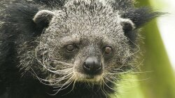 Binturongs Smell Like Hot, Buttery Popcorn — Now We Know Why