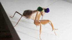 Why Scientists Put Tiny 3-D Glasses on a Praying Mantis