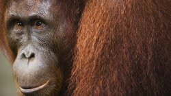 Anatomy of an Orangutan Murder