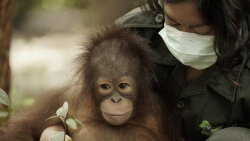 Orangutan Jungle School: Teaching Orangutans How to Be Orangutans