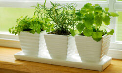 Trim herbs back at least once a month, removing up to a third of the plant, to keep them healthy and sturdy.