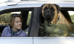 Sometimes older dogs, especially bigger breeds, need a little extra help getting into the car.