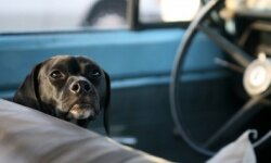 Some pets just want to take to the open road. Remember, however, they should always be restrained for safety's sake while en route.