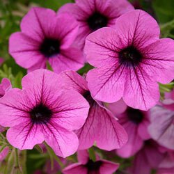 Petunias are durable flowers that will bloom from early spring to late fall in full sunlight. See more annual flower pictures.