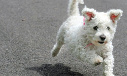 This little ball of fluff is a bichon frise, a good choice for allergy sufferers.