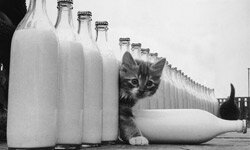 A kitten investigates glass milk bottles.