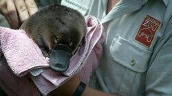 Platypus Milk: Our Best Hope Against an Antibiotic-Resistant Future