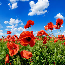 Poppies are self-seeding, so you can expect them to spread throughout your garden.
