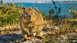 The Smiley Quokka Is an Australian Super Survivor