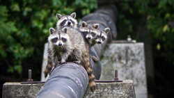 Raccoons Are Super Smart Urban Survivors
