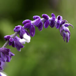 Salvia doesn't thrive in cool spots. So make sure to plant your salvia plant where it can get plenty of sun.