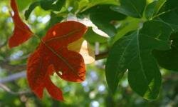 The sassafras tree is a distinctive tree with highly variable colored leaves.