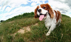 The Cavalier King Charles Spaniel made our list for being friendly enough to get along with the whole family (and energetic enough to wear the kids out before bedtime).
