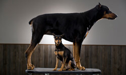 The resemblance is striking, but the miniature pinscher isn't directly related to the Doberman.
