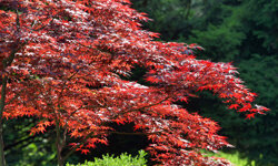 Ready for some color in the fall and spring? Try the Japanese Red Maple.