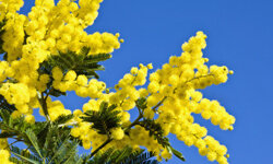 The acacia tree has nearly year-round yellow blooms. See more pictures of trees.