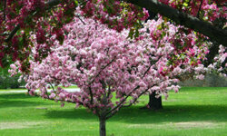 Watch for falling fruit with the brightly-colored crabapple tree.