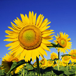 Vincent van Gogh isn't the only person to be starry-eyed over sunflowers -- they're a popular annual in gardens throughout the West. See more pictures of annual flowers.