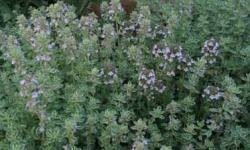 Dried thyme leaves can relieve gas pressure.