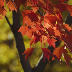 The leaves of a Red Maple variety in fall.