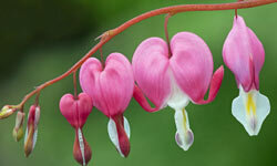 Bleeding hearts range in color from white to pale pink to rosy pink to deep cherry red.