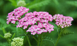 Yarrow comes in a huge range of colors from white to gold to pinks, purples and reds, and attracts butterflies.