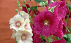 Hollyhocks are technically biennial meaning that they take two years to complete their life cycle.