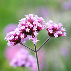 Verbena is a beautiful, draught-hardy perennial.­